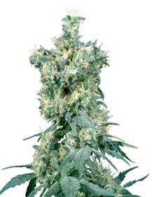 cannabis seeds american dream  10  indoor/greenhouse