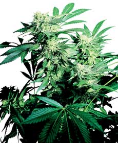 cannabis seeds skunk kush   indoor/greenhouse