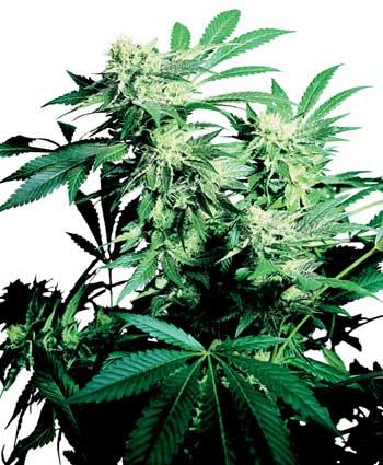 graine cannabis skunk kush