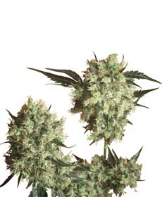 cannabis seeds marley's collie