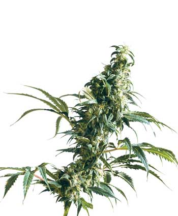 graine cannabis mexican sativa