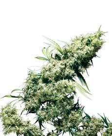 graine cannabis jamaican pearl