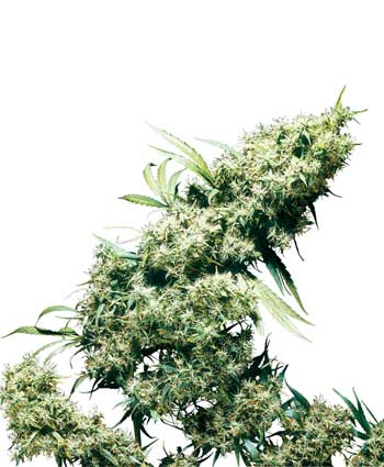 cannabis seeds jamaican pearl  10  outdoor