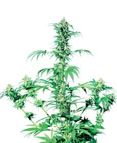 graine cannabis early girl  10  outdoor