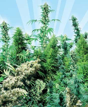 graine cannabis outdoor mix