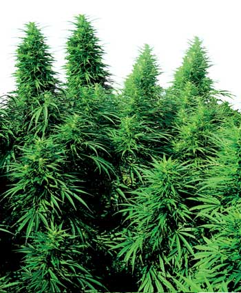 cannabis seeds ruderalis skunk  10 outdoor