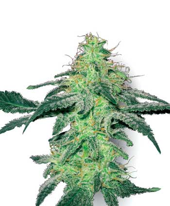 graine cannabis white skunk