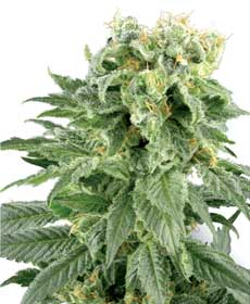 cannabis seeds double gum