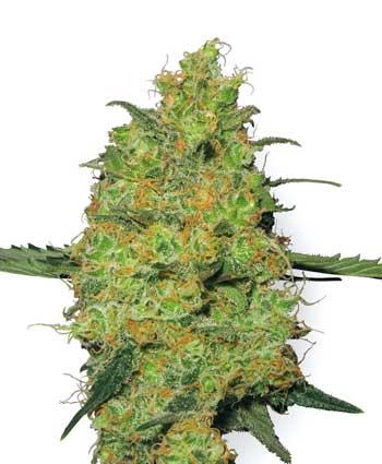 graine cannabis master kush  10  regular wl