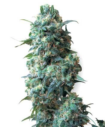 cannabis seeds afghan kush  10  regular wl