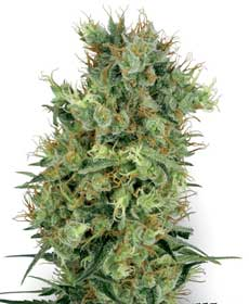 cannabis seeds cali orange bud