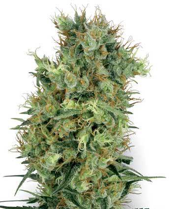 graine cannabis cal orange bud  10  regular wl