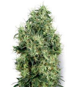 graine cannabis white gold  10 regular wl