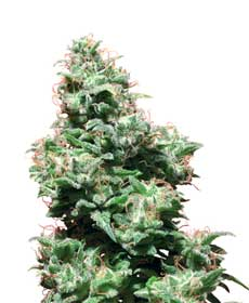 cannabis seeds kali haze