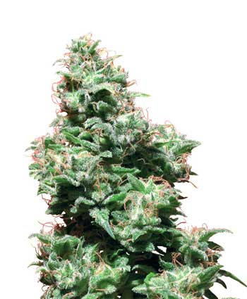 graine cannabis kali haze