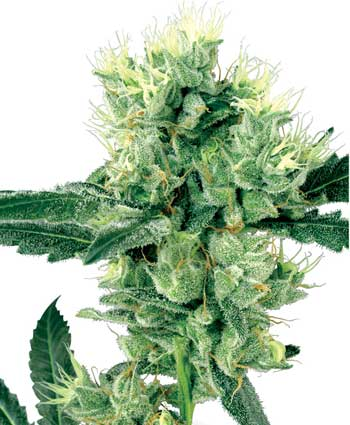 cannabis seeds white haze