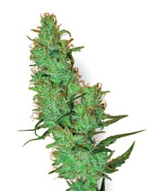 graine cannabis white label jack herer