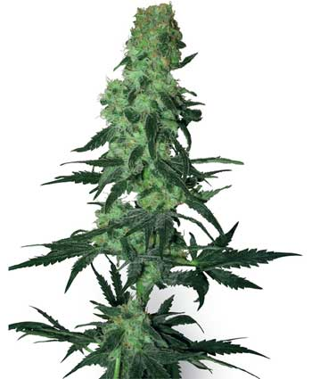 cannabis seeds amnesia white