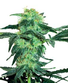 cannabis seeds white ice